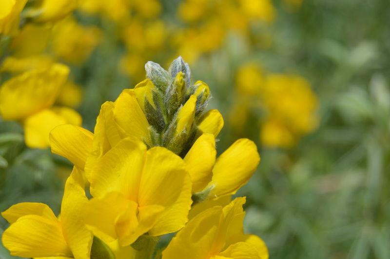"""Endemik bitki """"Elber Sarısı"""" koruma altında"""