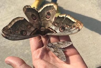 Dev kelebek zuhur etti
