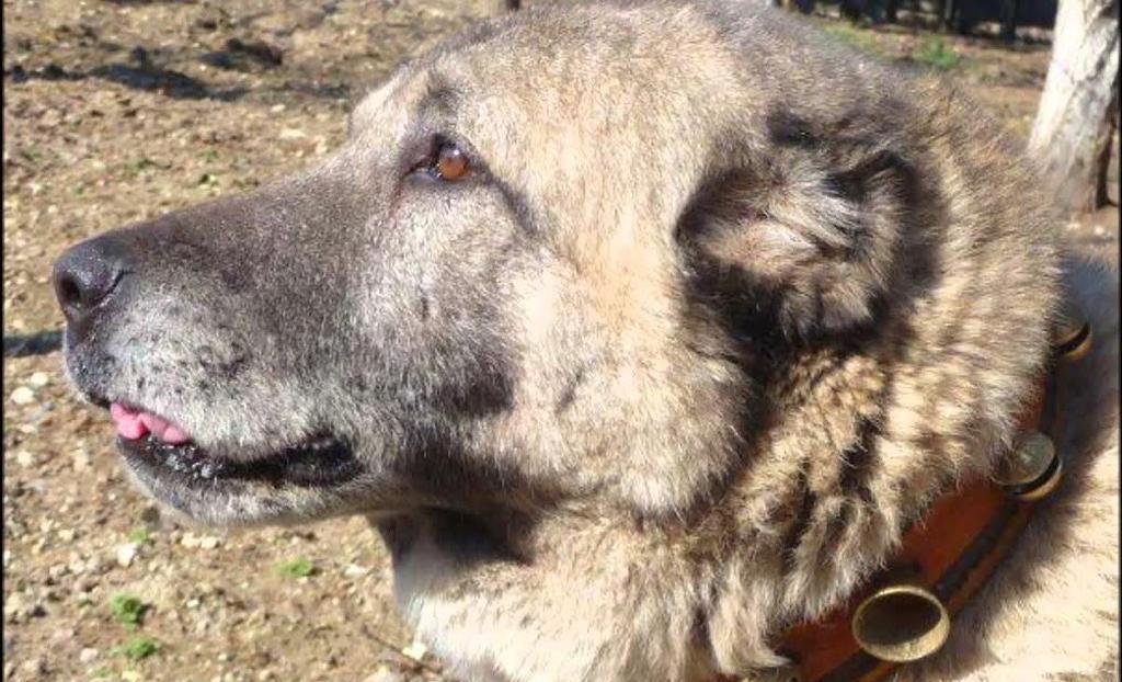 Bakanlık milli gururumuz Kangal Köpeği ile ilgili girişimde bulundu